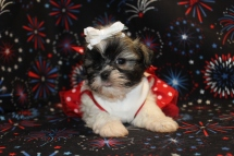 Chloe Female CKC Malshi $1500 Ready 7/14 HAS DEPOSIT