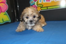 Beau Male CKC Shihpoo $1500 Ready 7/27 SOLD