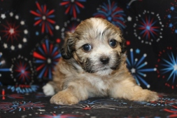 Beau Male CKC Shihpoo Ready July 27th $1500 AVAILABLE