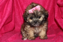 Brianna Female CKC Shihpoo $1500 Ready 7/27 HAS DEPOSIT!