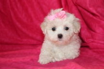 Anabella Female CKC Maltese $1750 Ready Aug 6 SOLD