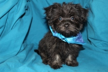 Bear Male CKC Havanese TOY SIZE EAW only 7 LBS has all shots including rabies $1800 AVAILABLE