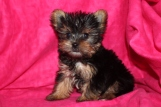 BeBe Female T-cup Yorkie Ready at 9 wks old on Aug 1st $2000 EAW 3-4lbs SOLD