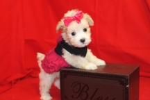 Farrah Female CKC Maltipoo $1750 SOLD