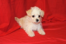Harmony Female CKC Morkipoo $1500 Ready 9/18 SOLD