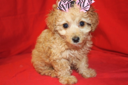 Honey Light Red Female CKC Morkipoo $1750 Ready on 9/18 SOLD