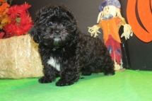 Leonardo Male CKC Shihpoo Reg $3000 Sale $1500 This Weeks Special $999 With All His Shots Too! SOLD
