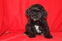 Leonardo Male CKC Shihpoo 11 wks old Reg $3000 Sale $1250 Super Special $999 SOLD EAW 11 Lbs