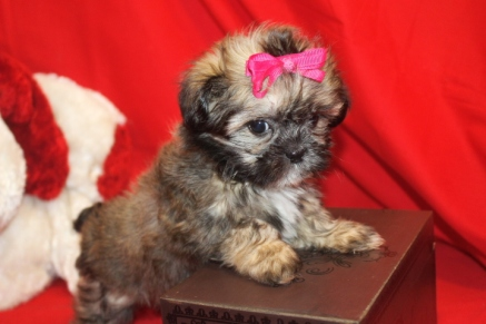 Ms O Female CKC Shihpoo $1500 Ready 9/6 SOLD
