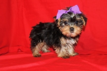 Osha Female CKC T-cup Yorkie 9 wks Old $2000 Ready 9/17 SOLD