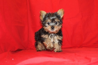 Ozzie Male CKC T-cup Yorkie 12 WKS OLD $1750 Ready 9/17 SOLD EAW 3.9 LBS