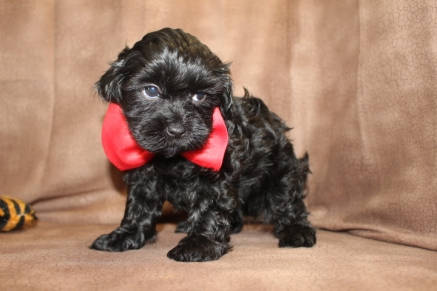 Raphael Male CKC Shihpoo $1500 Ready 8/30 SOLD