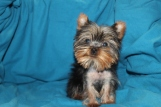 Teeny Male CKC Micro T-Cup Yorkie EAW ONLY 2.11LBS ONLY 1.13LBS AT 16 WKS $2500 AVAILABLE Labor Day Special $2000