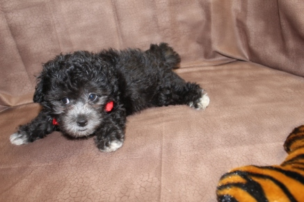 Ty Male CKC Malshipoo $1500 Labor Day Special. $999 Ready 8/10 AVAILABLE