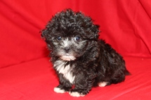 Teddy Male Malshipoo Ready 8/10 $1500 SOLD