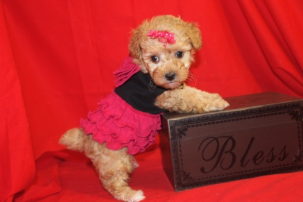 Holly Light Red Female CKC Morkipoo $1750 Ready on 9/18 SOLD