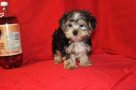 Oscar Male CKC Morkie $1500 Ready 9/16 Hernia discount now $1200