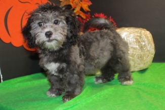 Ty Male CKC Malshipoo Reg $3000 Sale $999 AVAILABLE