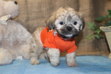 Agent Otto Male CKC Shihpoo $1500 Ready 9/6 SOLD!
