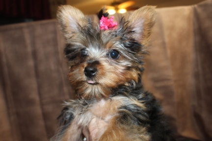 Fife Female T-cup Yorkie Ready Aug 1st $1750 Labor Day Special $1500 AVAILABLE