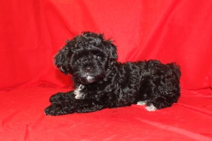 Michelangelo Male CKC Shihpoo 11 wks old Reg $3000 Sale $1500 Super Special $999 SOLD!