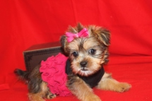 Rachel Female CKC Shorkie $1500 Ready 9/3 SOLD