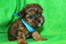 Rustin Male CKC Shorkie $1500 Ready 9/3 AVAILABLE