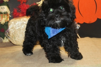 Donatello Male CKC Shihpoo Reg $3000 Sale $1500 This Weeks Special $999 With ALL Shots Too!AVAILABLE EAW 7.8 LBS