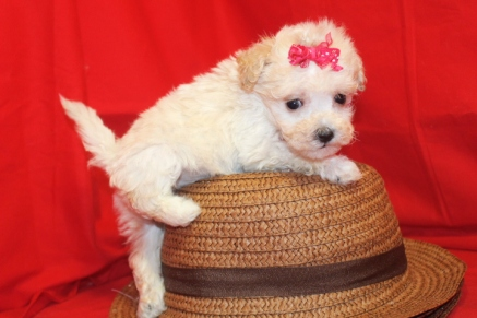 Kate Female CKC Maltipoo $1750 Ready 9/13 SOLD