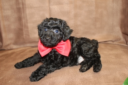 Mozart Male CKC Poodle $1250 Ready 8/30 SOLD