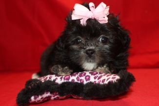 Trixie Female Malshipoo Ready 8/10 $1500 SOLD!