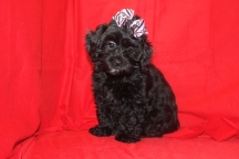 Venus de Milo Female Shihpoo 11 wks old with dock tail Reg $3000 Sale $1500 Super Special $999 SOLD EAW 9.8 Lbs