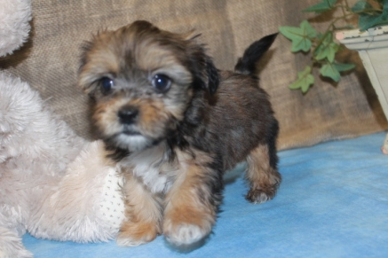 Andy Male CKC Shorkie $1750 Ready Sept 3rd AVAILABLE