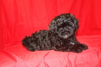 Donatello Male CKC Shihpoo Reg $3000 Sale $1250 Super Special $999 AVAILABLE EAW 10-11LBS