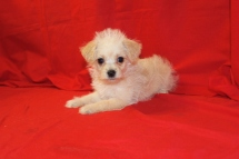 Harmony Female CKC Morkipoo SOLD