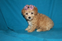 Holly Female CKC Morkipoo Sold