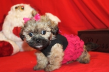 Agent Olive Female CKC Shihpoo $1500 Ready 9/6 SOLD