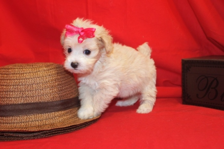 Farrah Female CKC Maltipoo $1750 Ready 9/13 SOLD