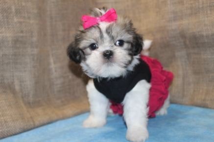 Agent Odell Female CKC Shihpoo $1500 Ready 9/6 SOLD