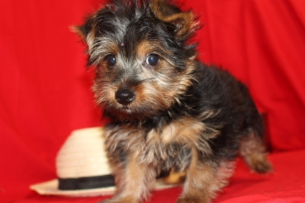 Dacia Male CKC Yorkie Reg $1750 Labor Day Special $1500 Ready 8/12 SOLD