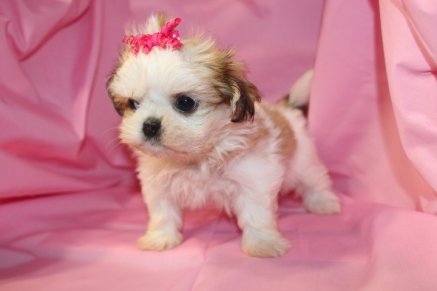 Kalli Female Imperial CKC Shih Tzu EAW ONLY 5 lbs Reg $2500 DISCOUNTED $1250 SOLD!