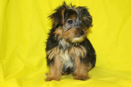 Milo Male CKC Yorkie $1750 SPECIAL NOW $999 Ready 8/13 SOLD