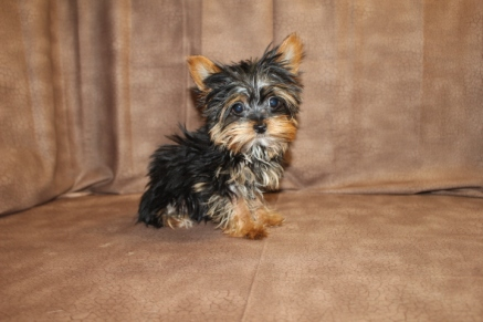 Tiny Male CKC Micro T-cup Yorkie 13 wks old 1.8lbs EAW 3LBS $2500 AVAILABLE Labor Day Special $2000