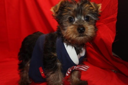 Don Juan Male CKC Yorkie Ready 8/12 Reg $1500 Special $1250 SOLD