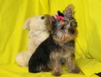 Fife Female Yorkie 16 Wks Reg $3000 Sale $1750 Special $1250 SOLD EAW 5.11 Lbs