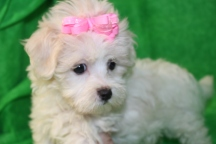 Ally Female CKC Maltese $1750 Ready Aug 8th SOLD