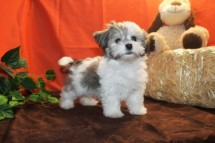 Comet Male CKC Havanese Toy Size Just Discounted $1500 Ready 10/13 SOLD