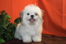 Skittle Male CKC Imperial Shih Tzu 18 wks Reg $3000 Sale Special $1500 Super Sale $999 SOLD EAW 7LBS
