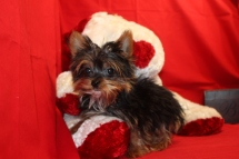 Tiny Male CKC Micro T-cup Yorkie 17 wks old 1.13 lbs EAW 3LBS $3000 Labor Day Special $2000 SOLD