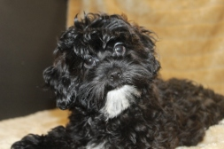 Marco Male CKC Shihpoo Reg $3000 Sale $999 AVAILABLE